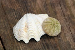 Sea Shell and Sea Urchin. A white rippled sea shell and a green sea urchin, arranged on a weathered wooden plank as souvenirs of a summer vacation at the beach stock images