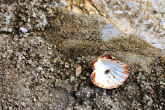 Sea shell and small crab. Sea shell and a small crab on the Atlantic coast in France. The small town of St POL de LEON stock images