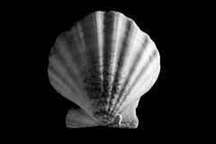 Sea shell. Sea snail in black backround Royalty Free Stock Image
