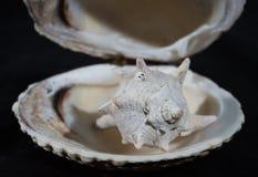 Sea shell. Sea snail in black backround Stock Photo