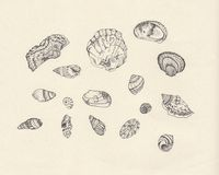 Sea shell study. A study of sea shells in pen Royalty Free Stock Images