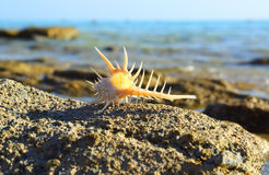 Sea shell with thorns on sea background Stock Images