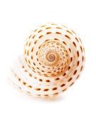 Sea shell Tonna Tesselata isolated Royalty Free Stock Photography