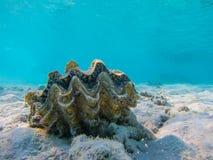 Sea Shell Tridacna Red Sea Underwater Snorkel Stock Photo