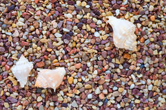 Sea Shell Trio on Pebbles Royalty Free Stock Photography