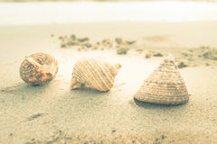 sea shell vintage Royalty Free Stock Photo