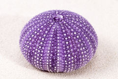 Sea shell of violet sea urchin lying on the sand Royalty Free Stock Photos