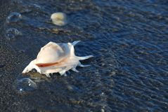 Sea shell in water Stock Photography