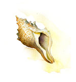 Sea shell. watercolor painting. On light background Royalty Free Stock Photography