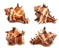 Sea shell on the white. Background Royalty Free Stock Photo