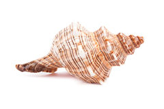 Sea shell  on white Royalty Free Stock Image