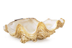 Sea shell on white Royalty Free Stock Photo