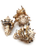 Sea shell on white background Stock Photo
