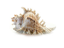 Sea shell on white background. Stock Images