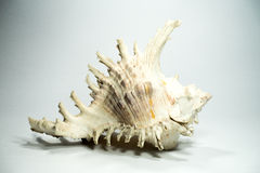 Sea shell on white background stock photography