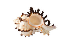 The sea shell Stock Images