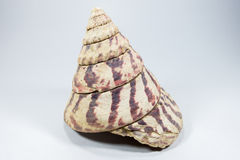 Sea shell on white background Royalty Free Stock Images