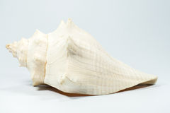 Sea shell on white background Stock Images