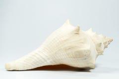 Sea shell on white background Royalty Free Stock Photos