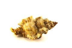 Sea shell on white background Stock Image