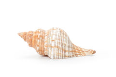 Sea shell,  on white background Stock Image