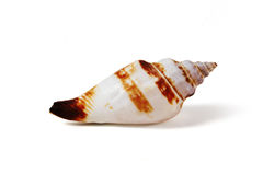 Sea shell  on white - clipping path. To be used in areas such as marine and underwater sea shell Royalty Free Stock Photo