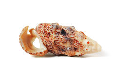 Sea shell  on white - clipping path. To be used in areas such as marine and underwater sea shell Stock Photos