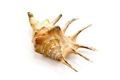 Sea shell  on white. Close-up photo Stock Photo