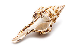 Sea Shell On White Stock Images