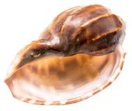 Sea Shell On White Royalty Free Stock Photos