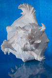 Sea shell  white color Stock Image