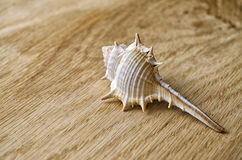 Sea Shell on Wood Stock Image