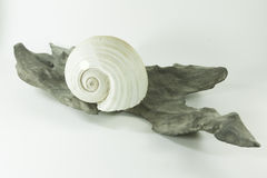 sea shell and a wood from the sea Stock Images