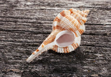 Sea shell on wooden background Stock Image
