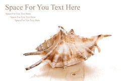 Sea shell on wooden floor Stock Photos