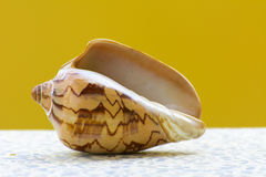 Sea shell on a yellow background. Stock Photo