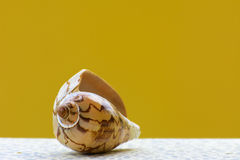 Sea shell on a yellow background. Stock Image