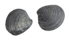 Sea shellfish fossils Stock Image
