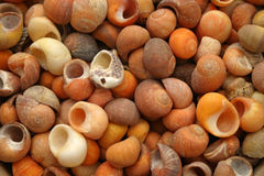 Sea shells. Would make an ideal background Stock Images