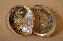 Sea shells. Two empty sea shells of Perlemoen - Haliotis midae from the Indian Ocean in South Africa Stock Images