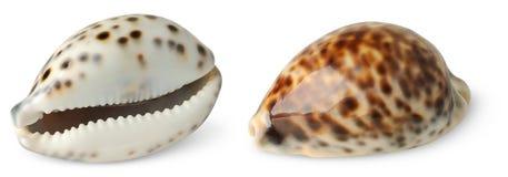 Sea shells Stock Images