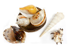 Sea shells. The sea shells of the tropic coconut shell Royalty Free Stock Image