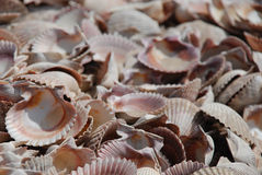 Sea of shells Royalty Free Stock Photo