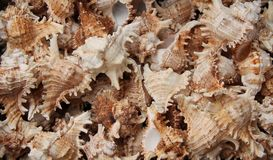 Sea Shells. Royalty Free Stock Photo