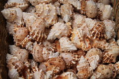 Sea Shells. Royalty Free Stock Photography