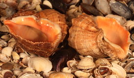 Sea shells Stock Photography