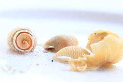 Sea shells. White sea shells from the innocent Stock Images