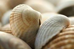Sea shells. Close up of sea shells Stock Images