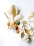 Sea shells Royalty Free Stock Photography