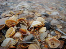 Sea shells. Beautiful shells on the beach of North Sea Stock Photos